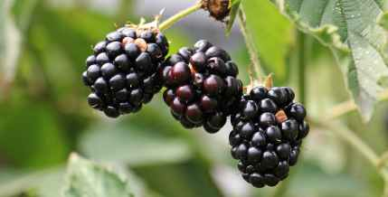 blackberries-bramble-berries-bush-134581.jpeg